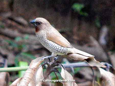 The Scaly-breasted Munia is a grass seed eater