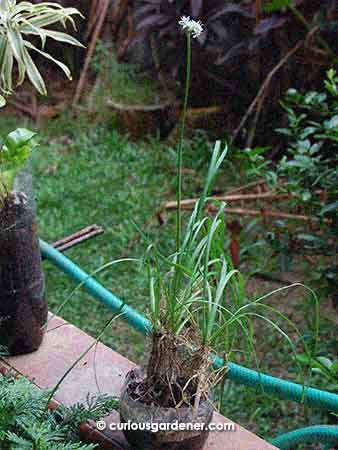The chinese chive plants in the little pot, and, towering overhead is the flower spike with the flowers. See it?