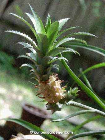 The Great Pineapple Experiment The Curious Gardener
