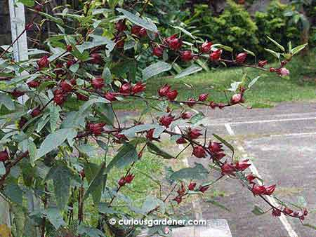 These branches were so weighed down by fruits that a heavy downpour would have broken the plant stems