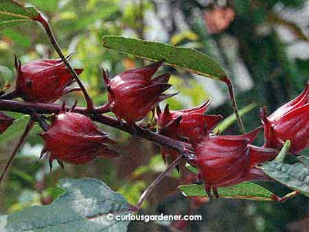A cluster of roselle fruits closely spaced together. That's what I call prolific!