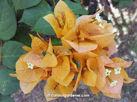 Also on the salmon-coloured plant is a lighter orange cluster of flowers
