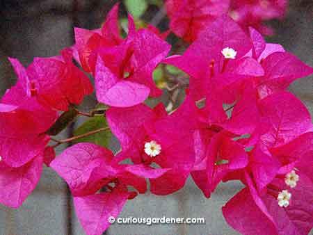 The standard purple/pink bougainvillea flower.