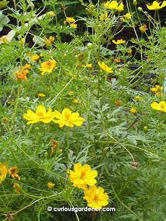 Yellow cosmos plants add such a splash of colour!