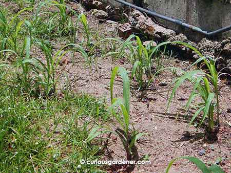 Here's the glutinous white corn. Our friend sowed 3 seeds per spot and said that I needn't thin them out. There have been a few casualties, methinks, because not all spots have 3 plants now. However, there should be quite a few, if they survive. (I haven't had the best luck with corn yet, so am sceptical)