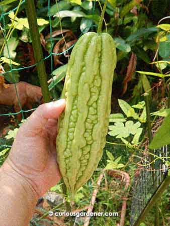 This was the first big bittergourd grown here. It's probably not as big as it could be because it had to struggle through the bad hazy weather that we had last month. However, it's still the biggest so far.