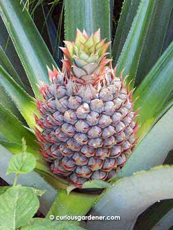 Apple of my eye at the moment - we're enjoying watching the pineapple fruit develop, but after reading up more about it, I know there are several possible threats to the fruit development. Patience and hope...