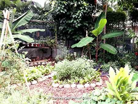 Alexius Yeo's permaculture garden, or urban farm