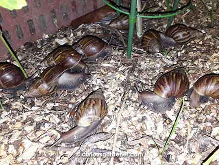 Just some of the snails that invaded the veg bed on that fateful night...