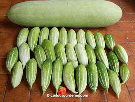 One mighty marrow, lots of short snake gourds and a sweet pepper!