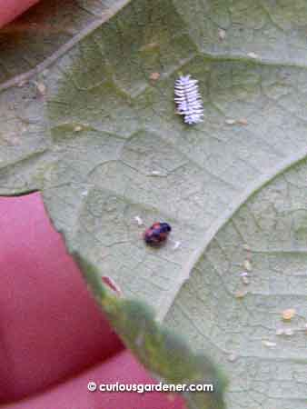 See that weird white spiky looking thing? That's the scymnus ladybug in its larva stage. Don't kill them!
