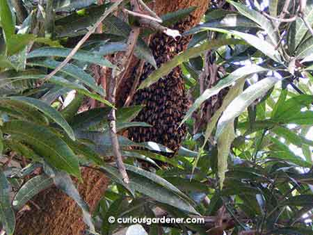 Looks scary, doesn't it? Beehive under construction on our mango tree.