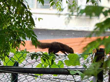 The squirrel scampering along the top of the chain link fence.