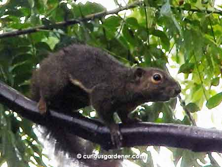 Running along rain-slick branches is not a problem for this squirrel!