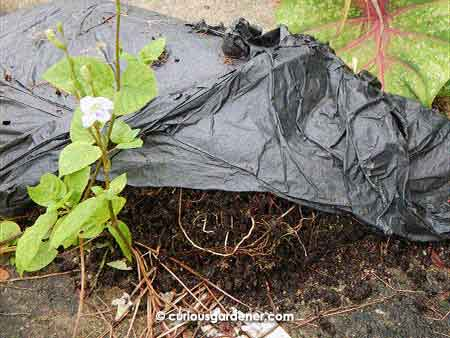 Nice, crumbly black compost made from just leaving the plant matter in the black garbage bag for a few weeks!