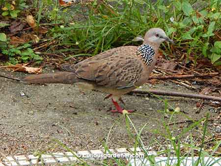 Remember the baby dove I discovered last New Year's day? Here it is, all grown up!