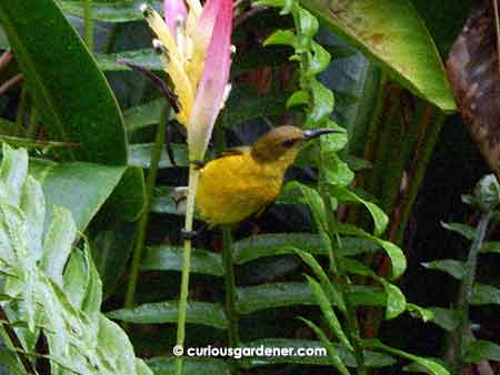 The female sunbird searching for nectar among the heliconia flowers.