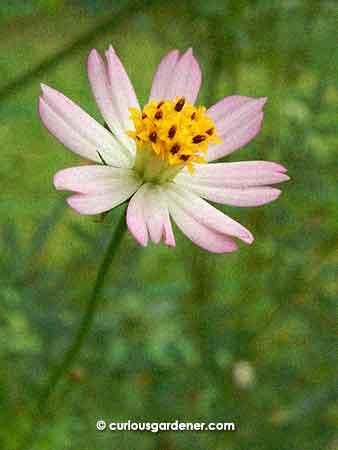 Cosmos caudatus flower