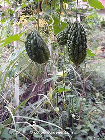 Just one of several clusters of bittergourds on the plant.