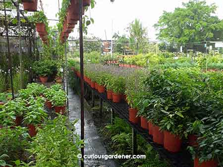 Rows of basil plants.