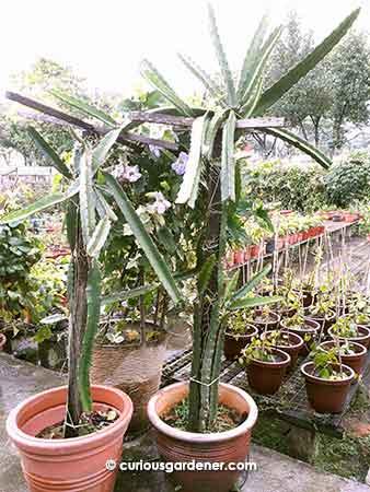 Dragonfruit plants