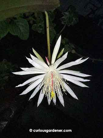 Our original Keng Hwa flower