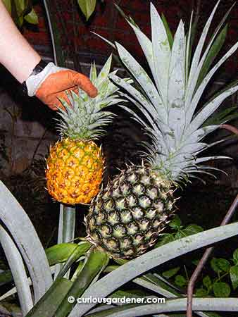 The ratoon pineapple is much smaller than a regular pineapple!