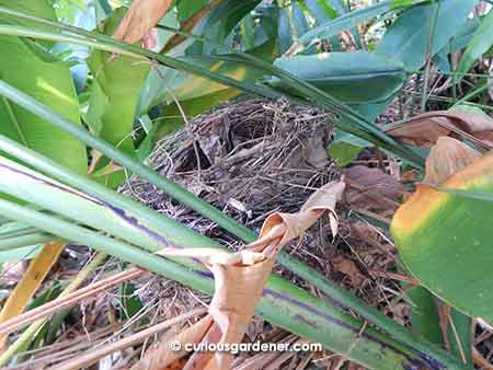 The best made bird nest that I discovered  in the middle of a tall patch of heliconia plants!