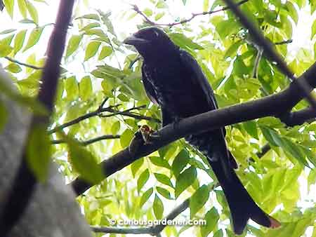 The bird with a fish tail - the crow-billed drongo.