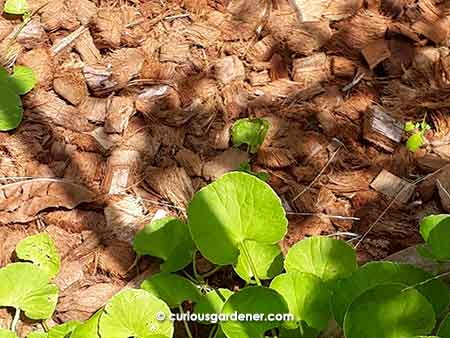 Coconut chips used as a layer of mulch will suppress weeds and keep the soil below moist.