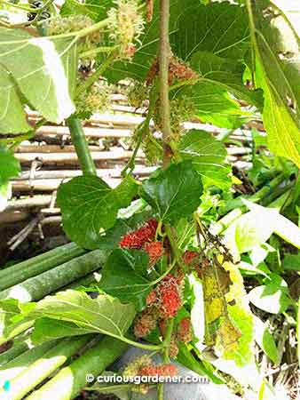 What you see is just part of the branch - imagine a 2-metre long branch lined with clumps and clumps of mulberries!