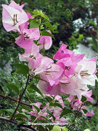 Sweet pink-and-white bi-coloured bougainvillea flowers