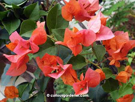 Dark orange, with a tinge of pink bougainvillea flowers - I quite like this colour!