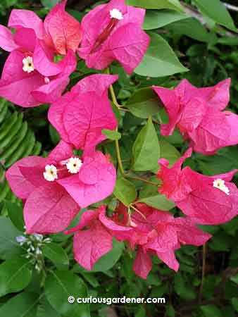 Dark pink bougainvillea - what I consider the more common colour