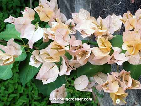 Pale peach bougainvillea flowers - not the most appealing colours to me, but certainly prolific when in bloom!