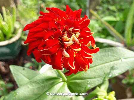 I call this the pom-pom zinnia flower - it has way too many outer petals, and no disc flowers in the centre!