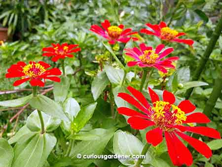 Don't these red zinnias look gorgeous in a cluster?