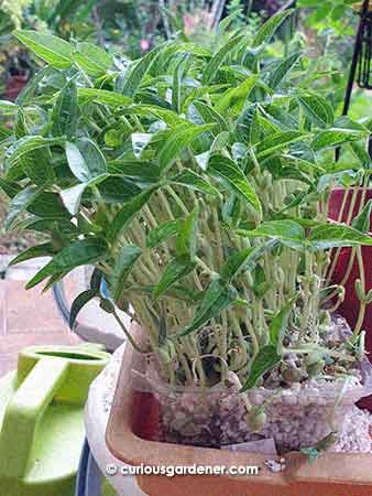 too many mung bean plants clustered in a small space