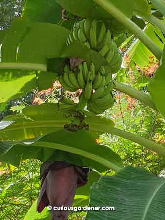 Bananas from a plant from our old neighbour.