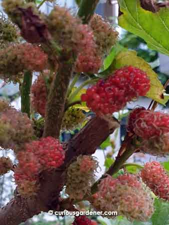 Remember to prune mulberry plants hard after the harvest to ensure continuous fruiting.