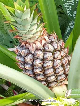 You have to be extremely patient when growing pineapples. We've waited about 2 years since the last harvest.